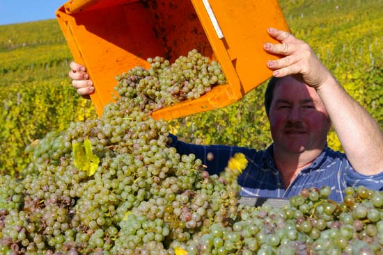 druivenpluk